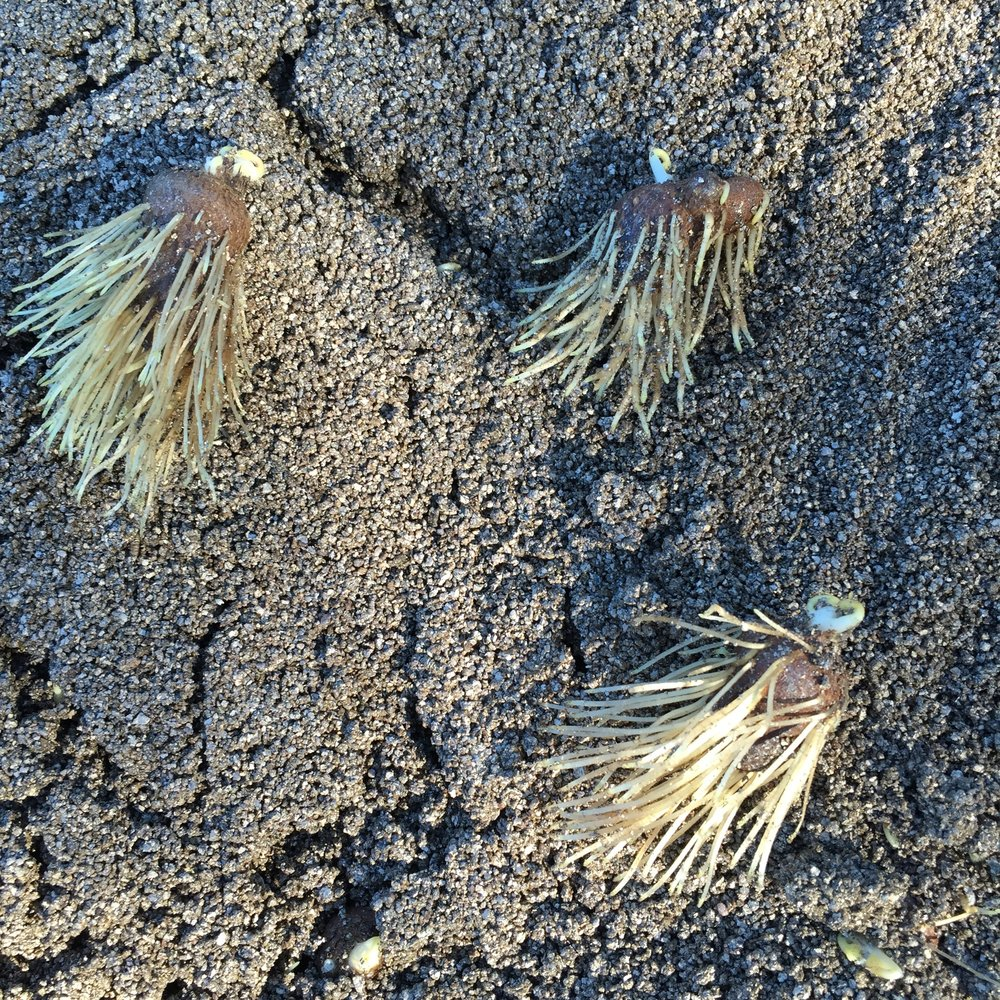 Anemone Corm Roots
