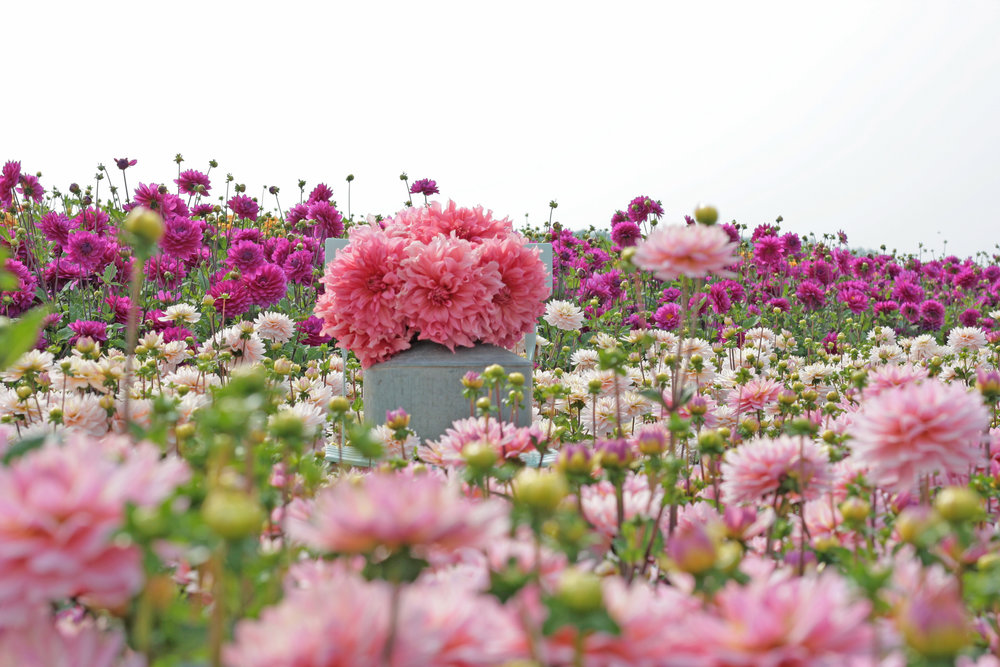 Dahlia fields FAM FLower Farm.jpg