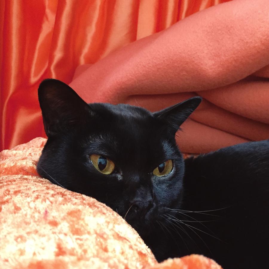 (O! Velvet)  Mandalay No. 241  (Black female) at the 45th ACF National Cat Show.
