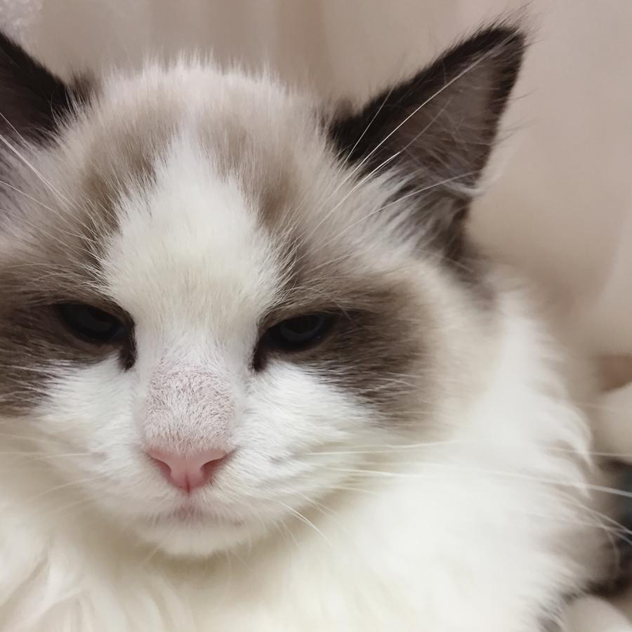 Ragdoll No. 143  (Cream bi-colour male) at the 45th ACF National Cat Show.