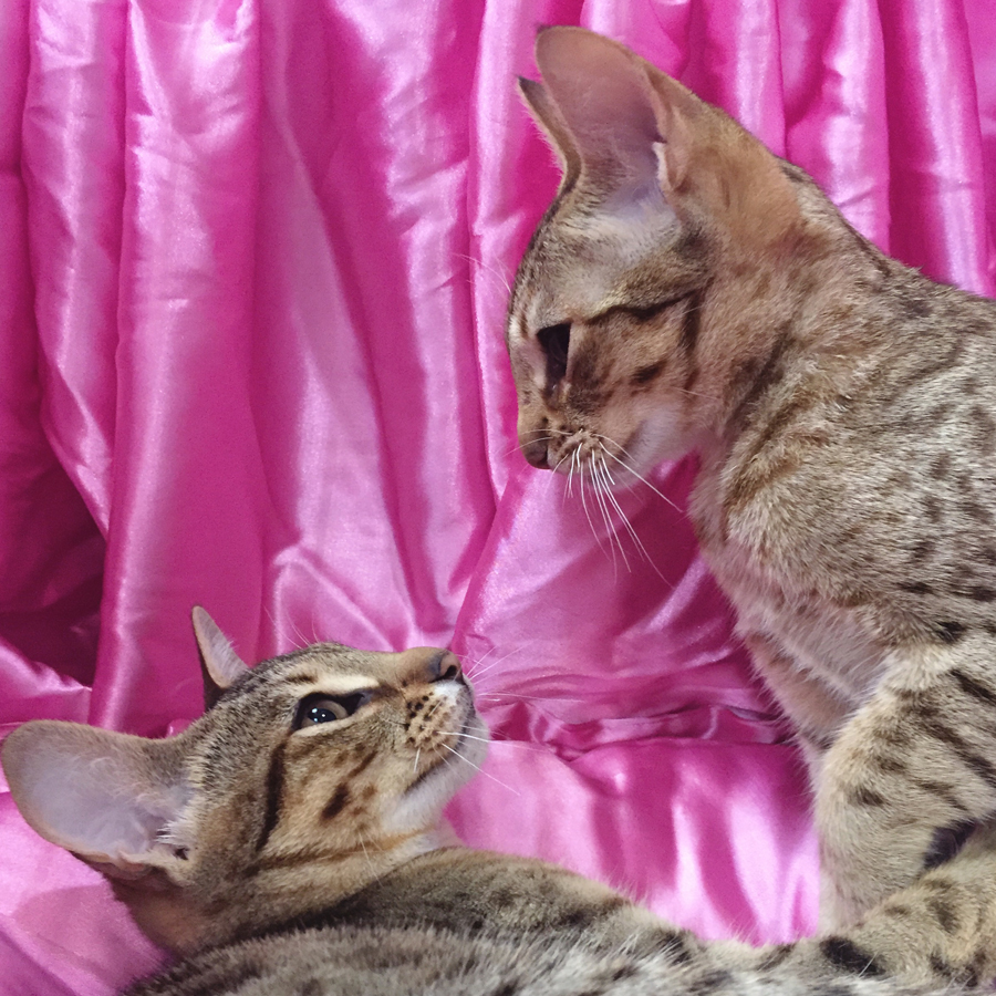 Two Tawny Spotted Ocicat siblings , against a bubblegum-pink satin, at the 45th ACF National Cat Show.