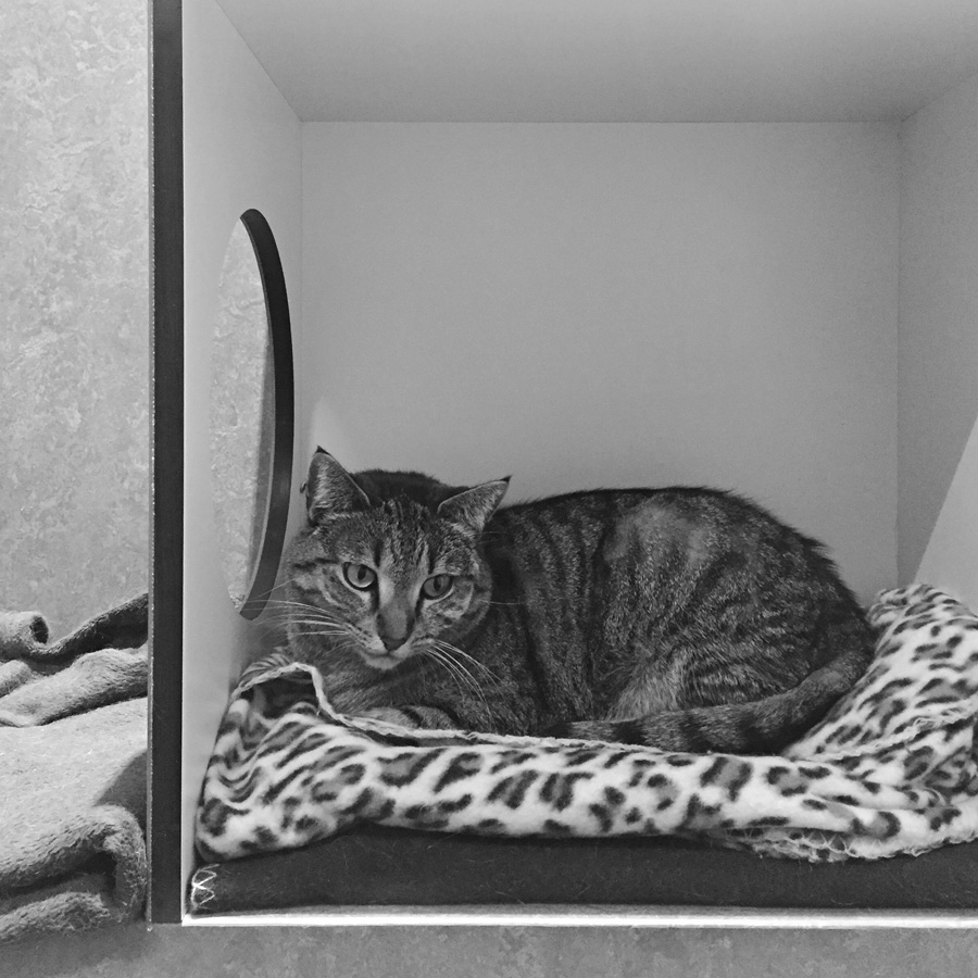 Please meet Mica , a four-year-old tabby, number 861593, at the RSPCA Burwood East shelter, still up for adoption.   RSPCA Victoria adoption