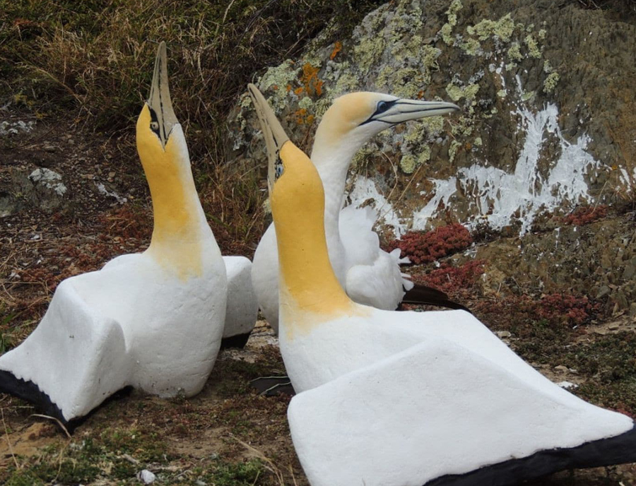 Nigel the gannet and two concrete friends, photograph courtesy of the New Zealand Department of Conservation