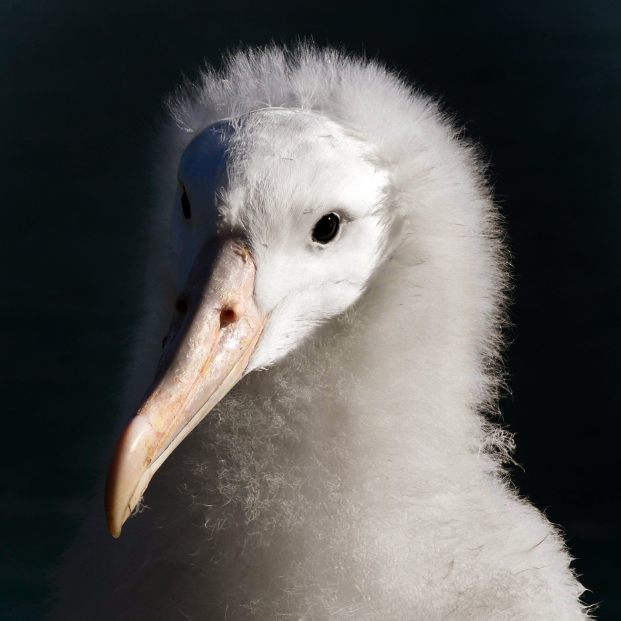 'An albatross chick at Taiaroa Head albatross colony' (detail), in the Ontago Daily Times, NZ, photographed by Stephen Jaquiery