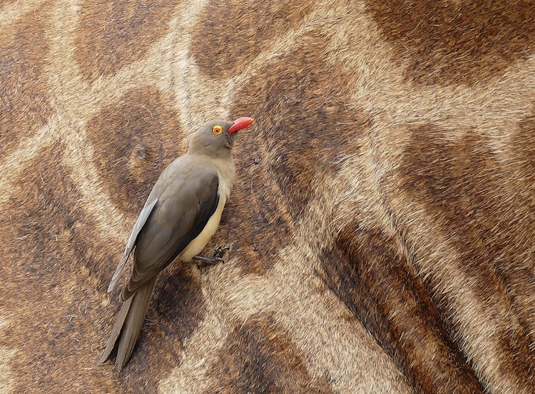 Red-billed oxpecker ( Buphagus erythrorhynchus ) looking for ticks on a giraffe, Hluhluwe–Imfolozi Park, South Africa, by Bernard Dupont, 14 September, 2016