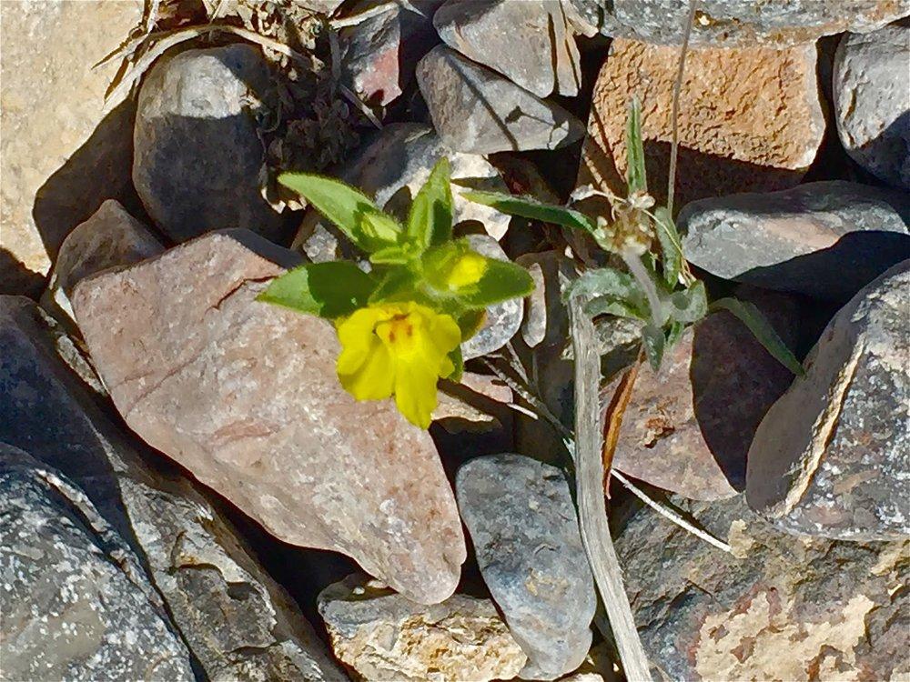 Lesser Mojavea