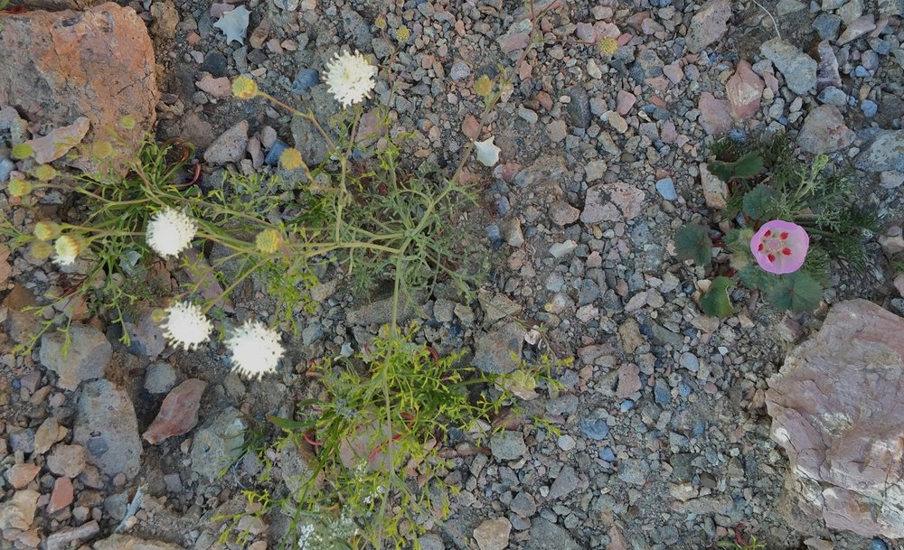 Pebble Pincushion, left, and Five-Spot