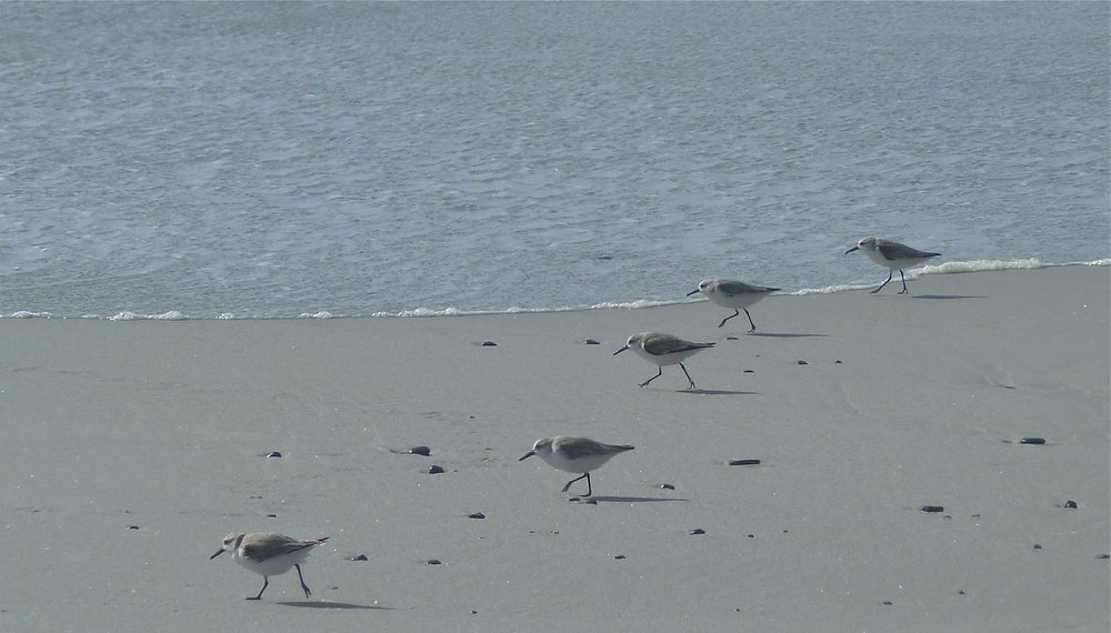 Synchronised Sanderlings