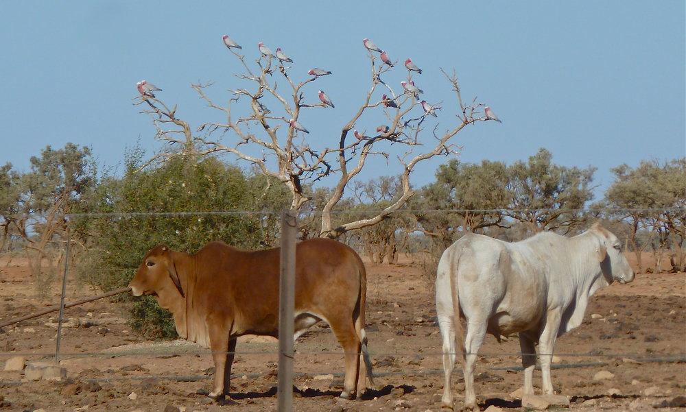 Cows and Galahs