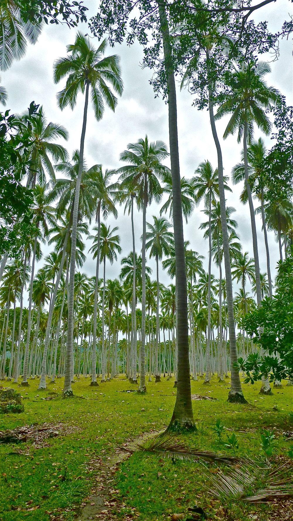 Coconut plantation, Ratua Island, Vanuatu