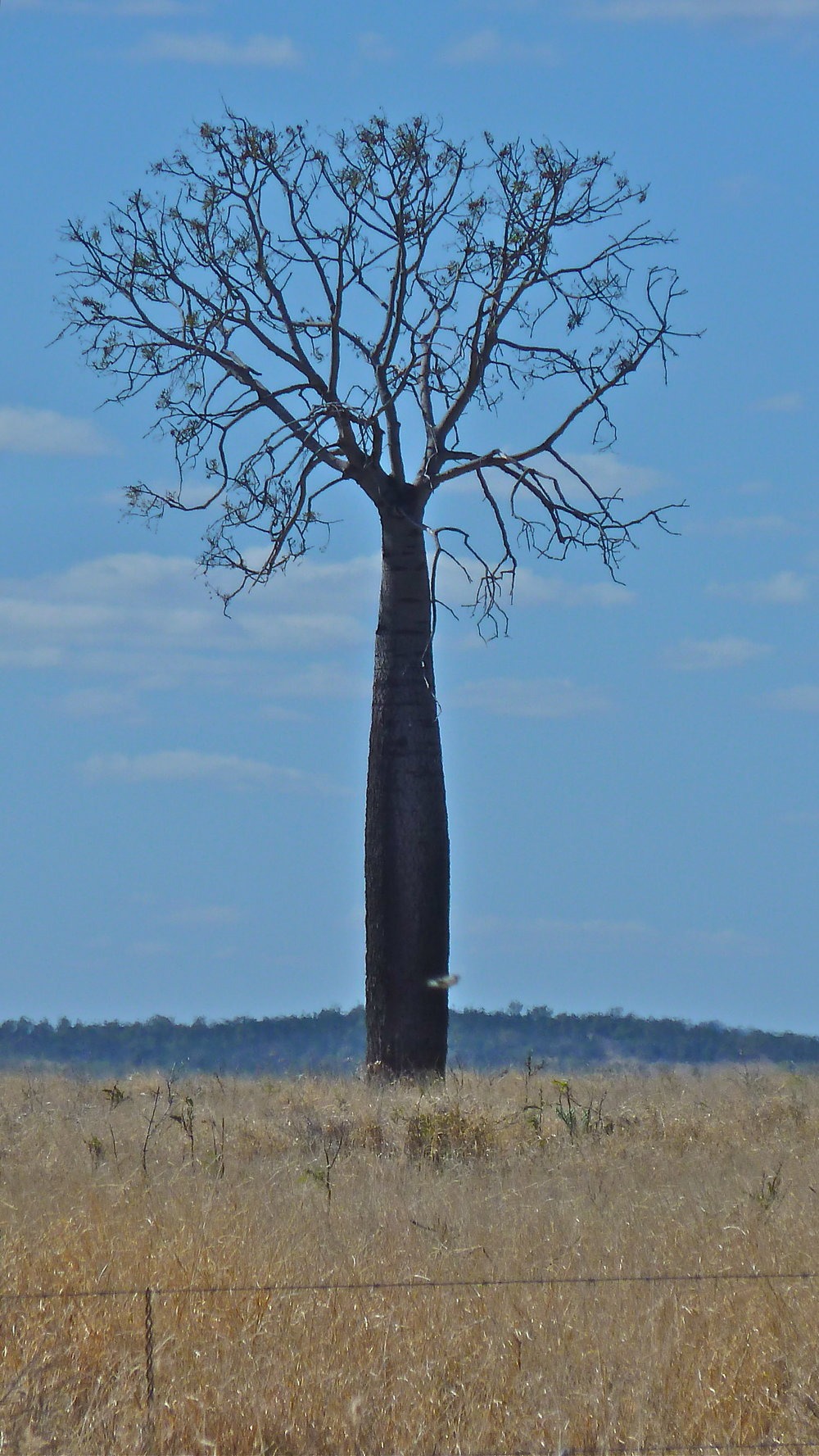 Queensland Bottle Tree, near Alpha, Central Queensland