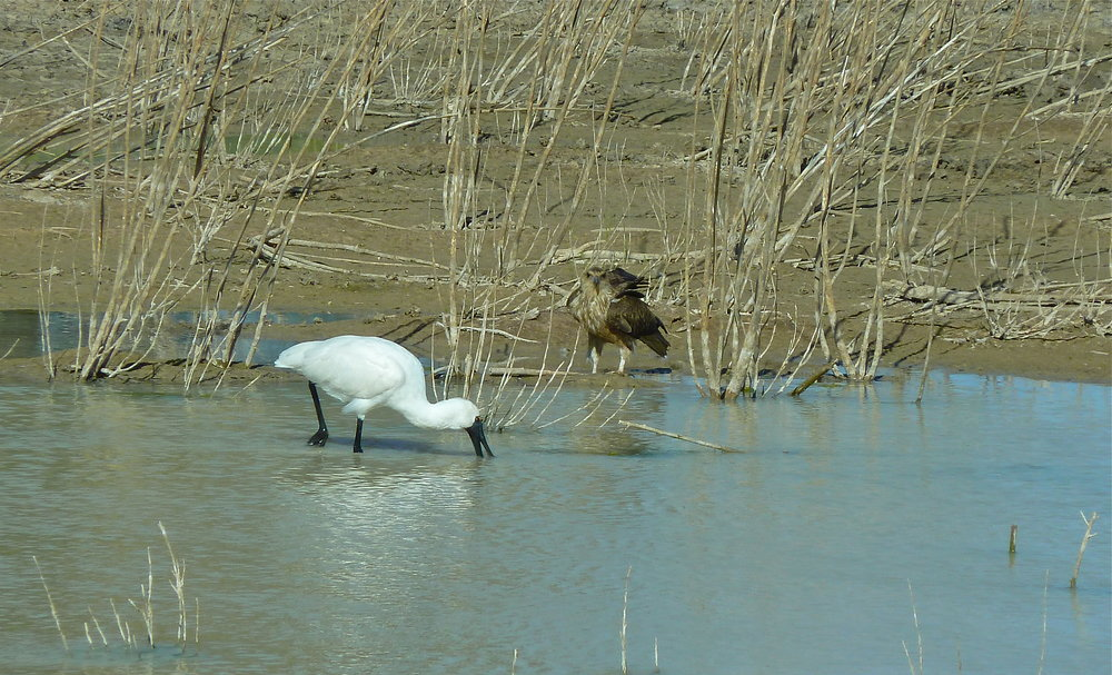 Royal Spoonbill and Whistling Kite, Cuttaburra Crossing, Far Western Queensland