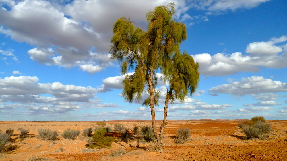 Waddi tree, near Birdsville, Far Western Queensland