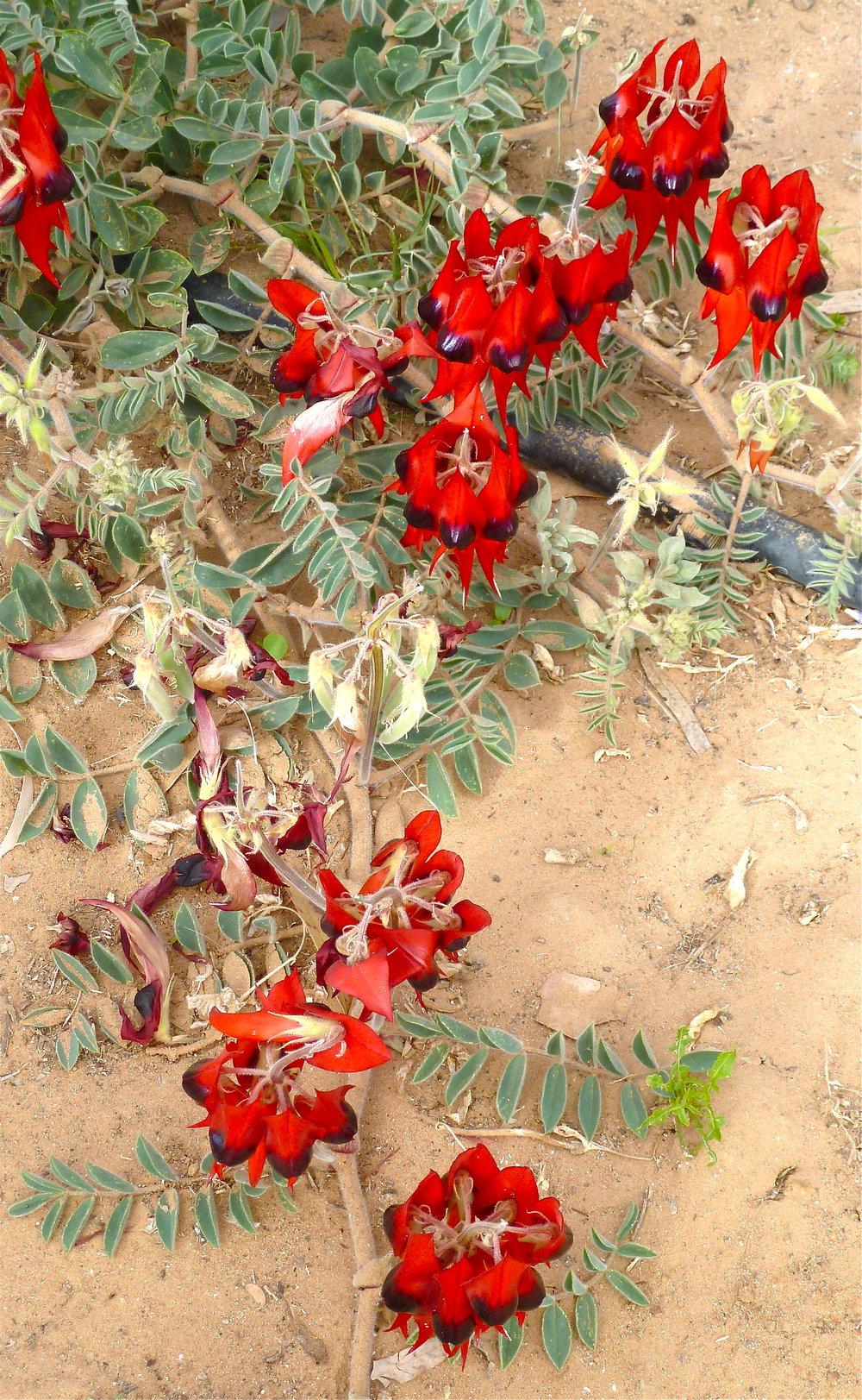 Sturt's Desert Peas, Birdsville, Far Western Queensland