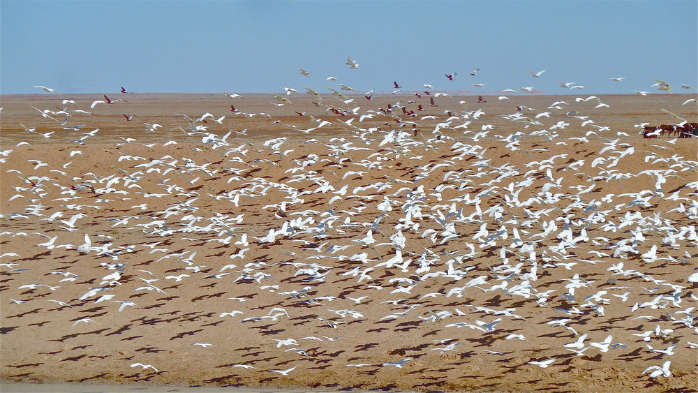 Little Corellas and Galahs, Sturt Stony Desert, South Australia