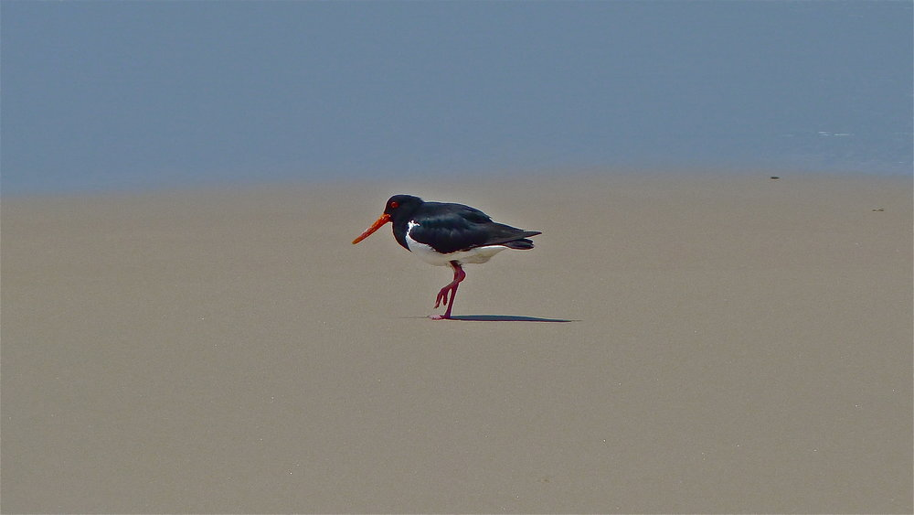Pied Oystercatcher, Main Beach, North Stradbroke Island, Queensland