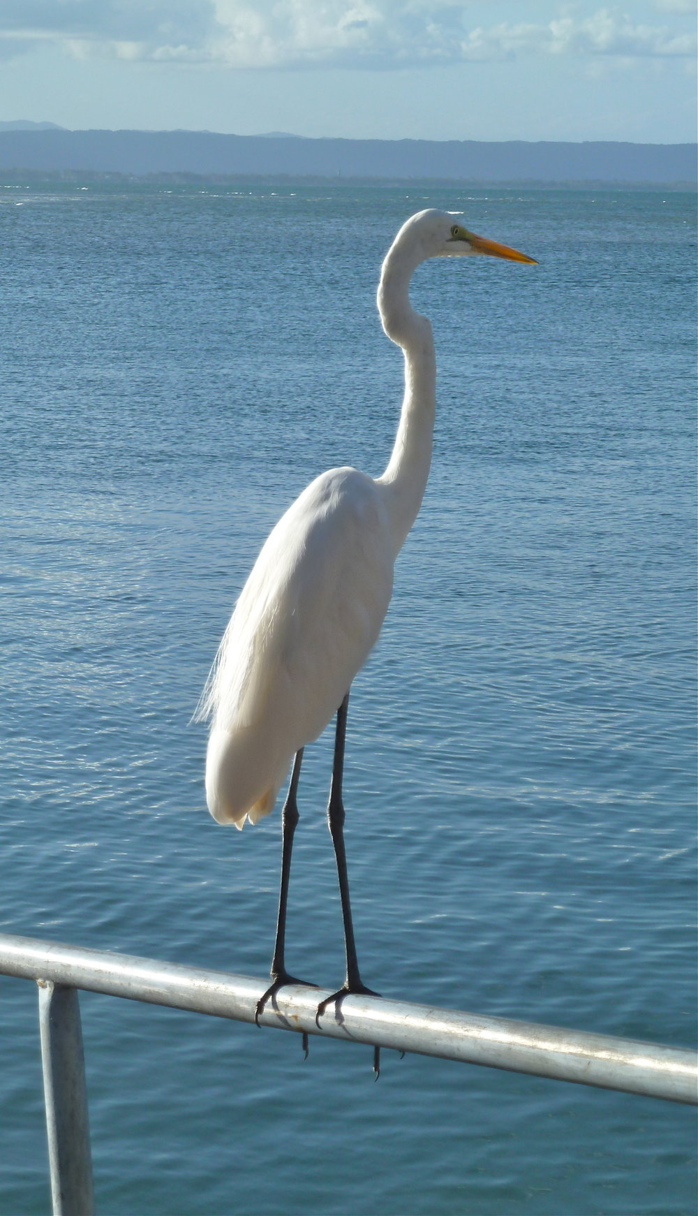 Great Egret, Port Douglas