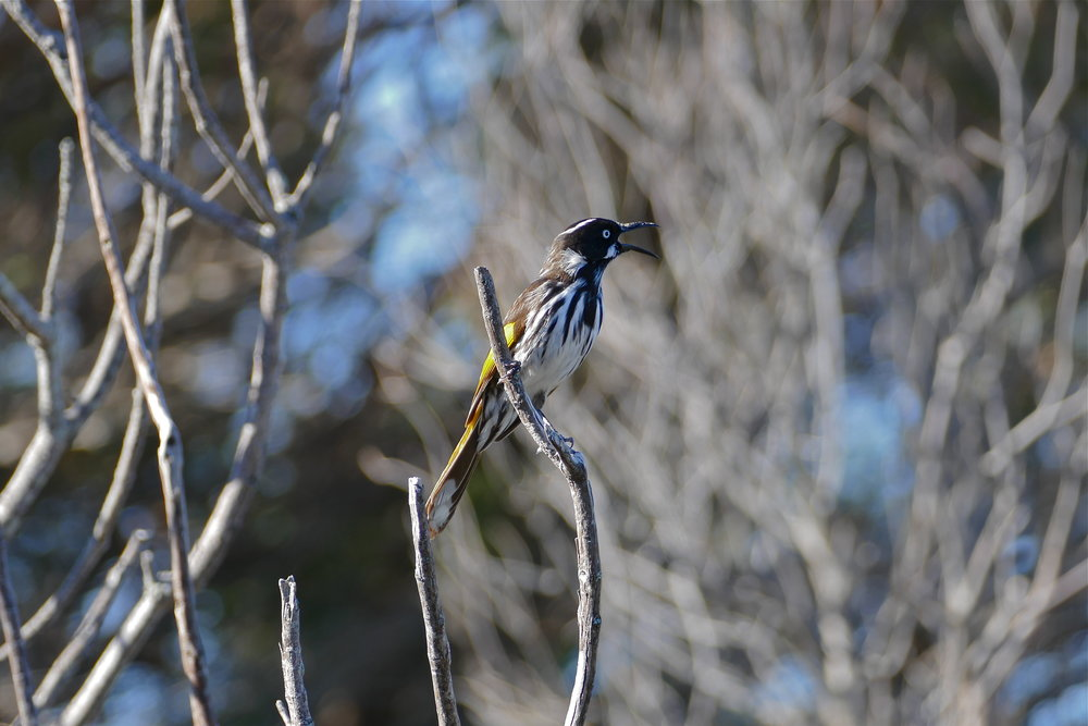 New Holland Honeyeater (courtesy of my friend)