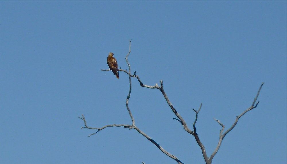 Wedge-Tailed Eagle?