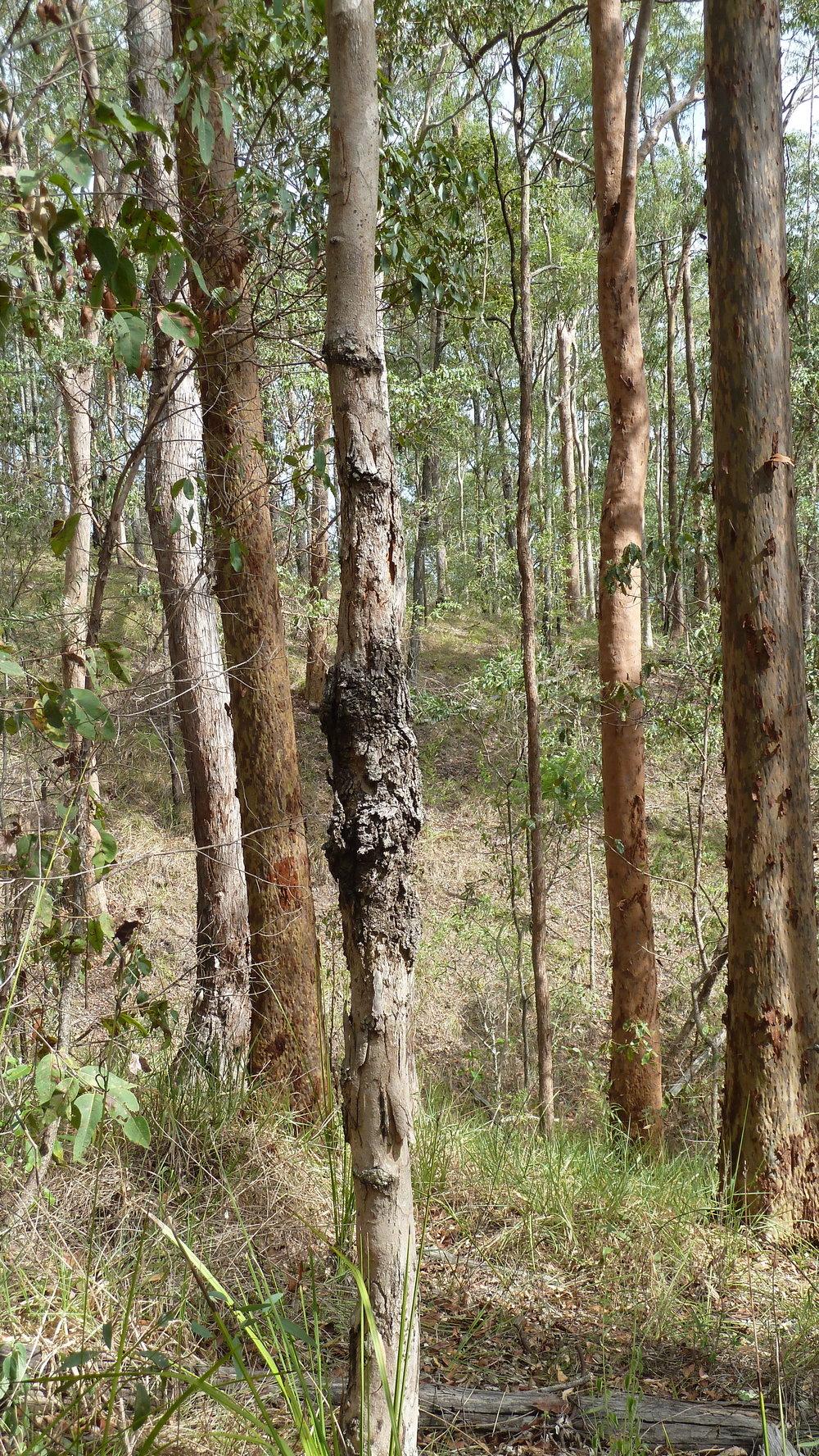 Mt Coot-tha near Brisbane