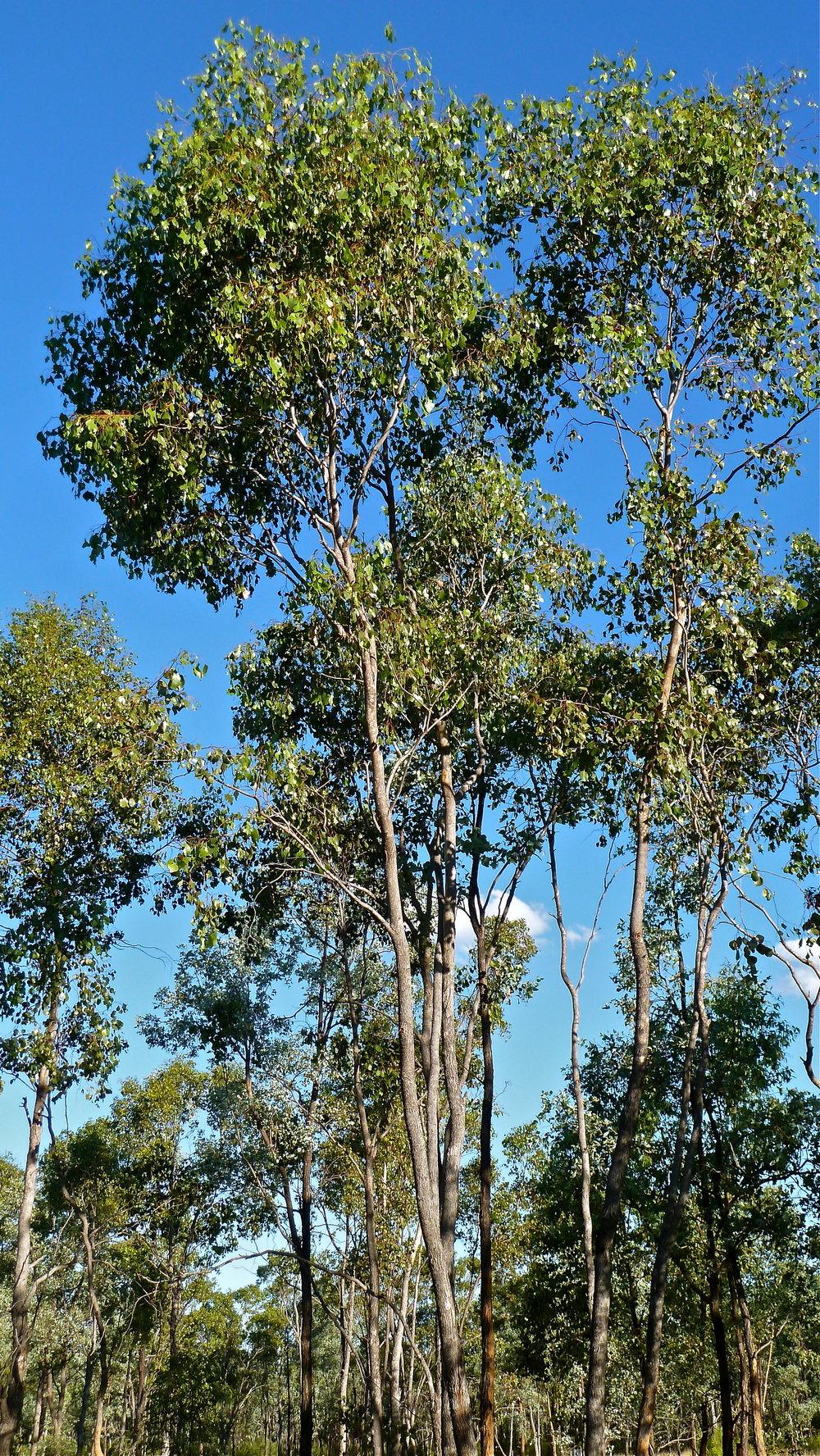 Bimble Box trees, Desert Uplands of Central Queensland