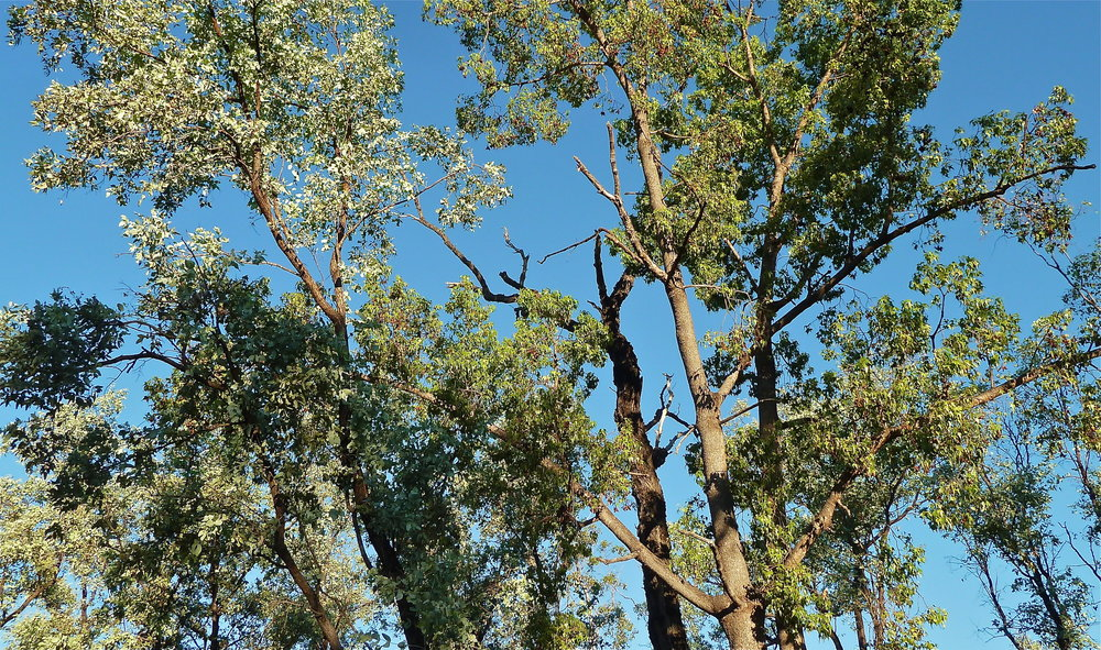 Silver-leaf Ironbark and Kurrajong