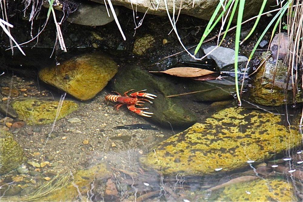 Spiny Mountain Crayfish