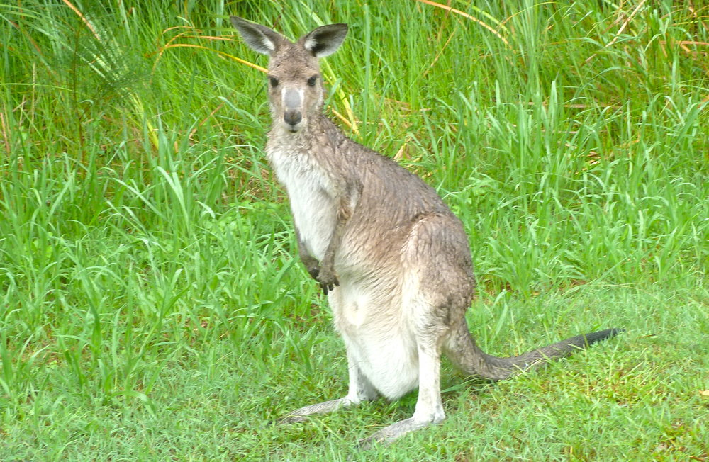 Jan:  bedraggled roo on New South Wales North Coast