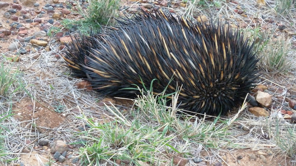 Jun:  echidna in the Outback, on the way to Charleville