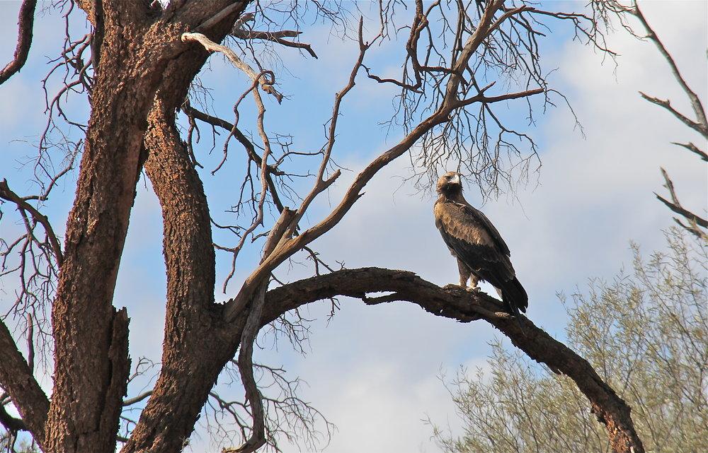 Black Kite = Outback