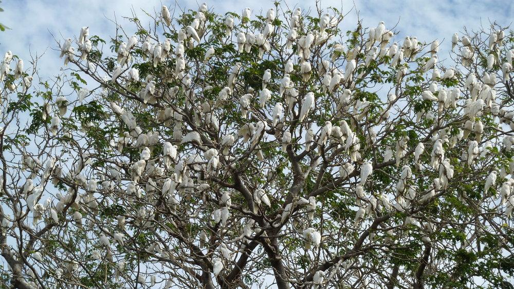 Little Corella 'blossom'
