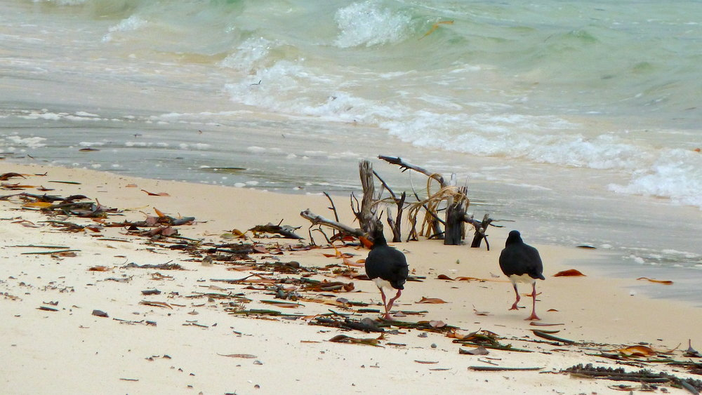 Pied Oystercatchers beating a retreat