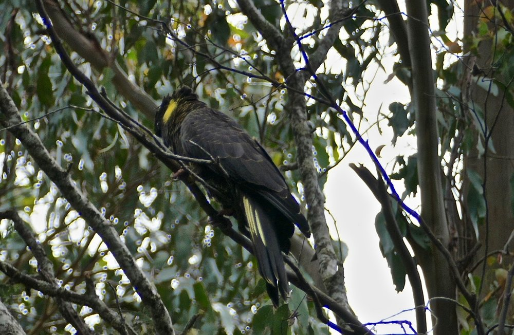 Shy Yellow-tailed Black-Cockatoo