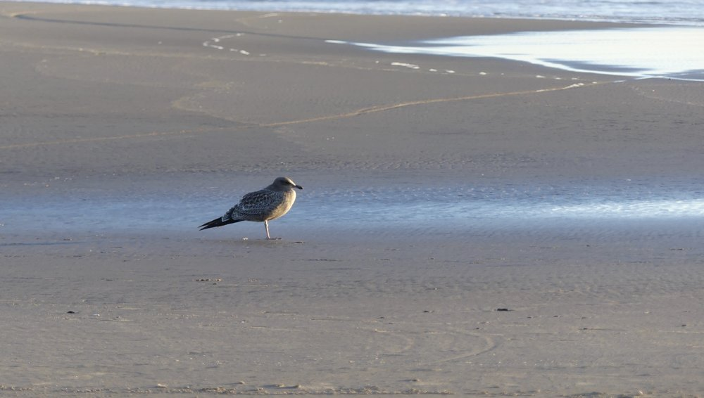 Western Gull surveys the ocean…