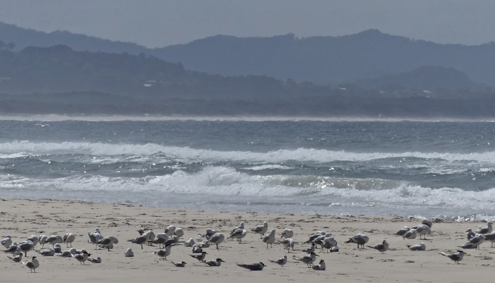 Silver Gulls and Crested Terns