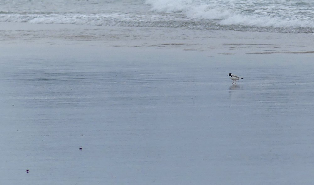 Hooded Plover and two crabs