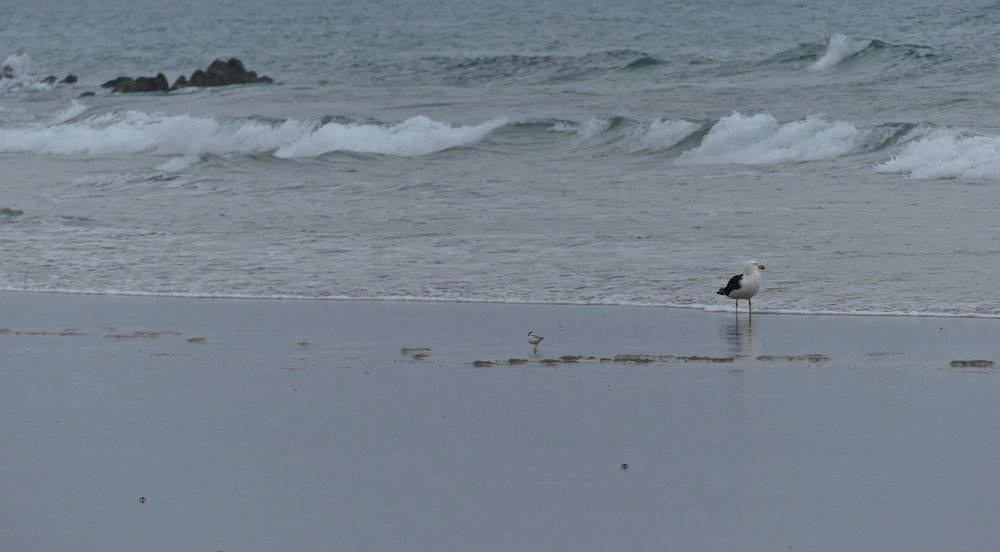 Pacific Gull, Hooded Plover and two crabs