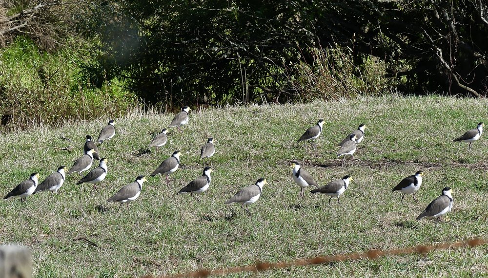 21 Masked Lapwings en route