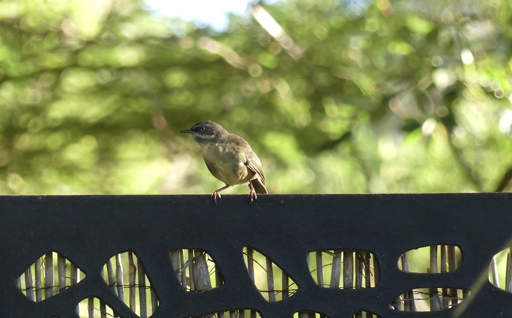 White-browed Scrubwren – a first for us
