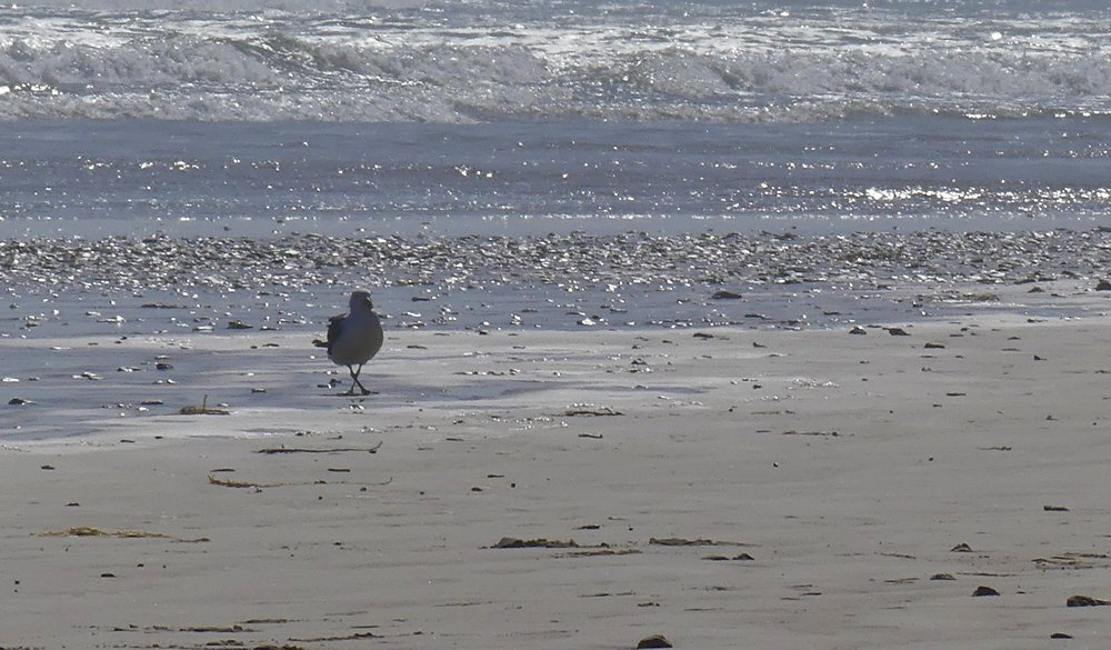 Pacific Gull dancing