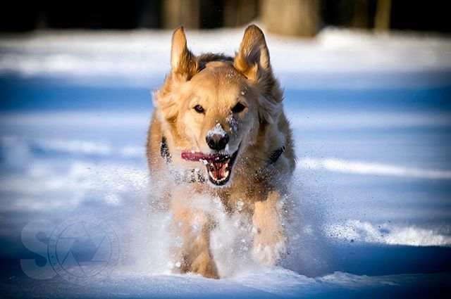Focus. ________________________________  #goldensofig #goldenretriever #goldenretrieversofinstagram #betterwithpets #dogsofinstagram #fluffypack #gloriousgoldens #cute #welovegoldens #ilovemydog #dogcrushdaily #retrieveroftheday #goldenlife #featuregoldens #goldenretrieverfeatures #bestwoof #goldenretrieverft #ilovegolden_retrievers #mydogiscutest #retrieversgram #idratherbewithmydog #sobphotography #brady