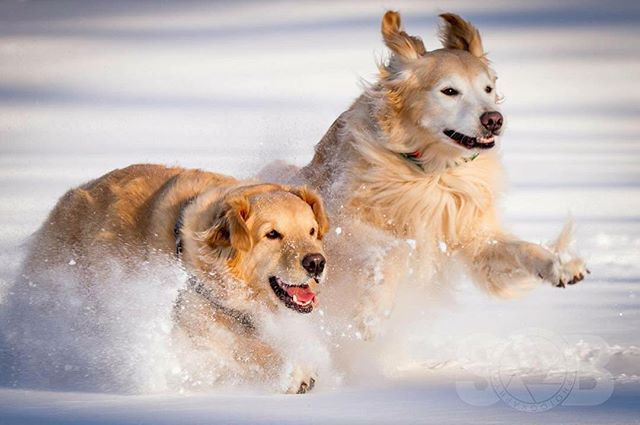 Brady and Trinity running through the snow. ________________________________  #goldensofig #goldenretriever #goldenretrieversofinstagram #betterwithpets #dogsofinstagram #fluffypack #gloriousgoldens #cute #welovegoldens #ilovemydog #dogcrushdaily #retrieveroftheday #goldenlife #featuregoldens #goldenretrieverfeatures #bestwoof #goldenretrieverft #ilovegolden_retrievers #mydogiscutest #retrieversgram #idratherbewithmydog #sobphotography #brady #trinity #travelingwithdog