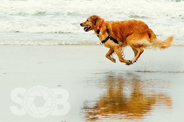 Brady going airborne running along the Jersey shore. ________________________________  #goldensofig #goldenretriever #goldenretrieversofinstagram #betterwithpets #dogsofinstagram #fluffypack #gloriousgoldens #cute #welovegoldens #ilovemydog #dogcrushdaily #retrieveroftheday #goldenlife #featuregoldens #goldenretrieverfeatures #bestwoof #goldenretrieverft #ilovegolden_retrievers #mydogiscutest #retrieversgram #idratherbewithmydog #sobphotography #brady #zoomies #speed #travellingwithdog #zoomiesfordays