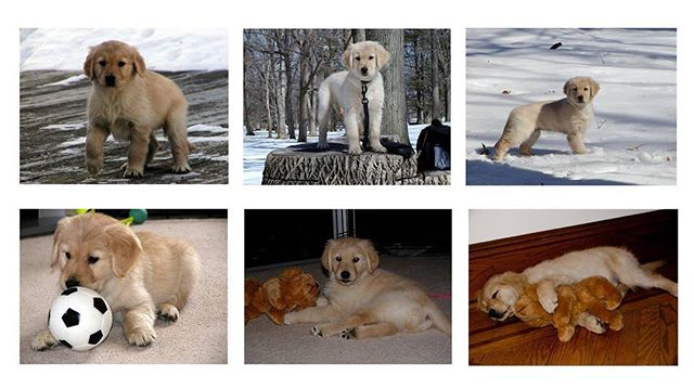 Reformatting pics for a new picture frame we just bought and came across some puppy shots of Trinity from just over 15 years ago. Grouped them together in photoshop and then uploaded it to my wall. Haven't seen these photos in almost 10 years so it's nice to see and share some old memories.  Picture frame is called @meetmeural and so far I am totally impressed with it's resolution and at 27 inches it is perfect for large print viewing.  Really looks like an actual print or prints hanging on the wall.  Highly recommend for a Christmas gift to anyone that loves art and photos on their walls. ________________________________  #goldensofig #goldenretriever #goldenretrieversofinstagram #betterwithpets #dogsofinstagram #fluffypack #gloriousgoldens #cute #welovegoldens #ilovemydog #dogcrushdaily #retrieveroftheday #goldenlife #featuregoldens #goldenretrieverfeatures #bestwoof #goldenretrieverft #ilovegolden_retrievers #mydogiscutest #retrieversgram #idratherbewithmydog #sobphotography  #trinity #travelingwithdog #meuralcanvas #meural