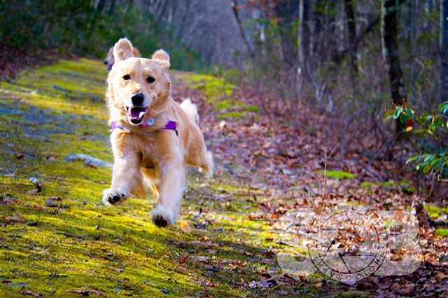 Charlie showing off her flying skills on the trail yesterday. _______________________________  #goldensofig #goldenretriever #goldenretrieversofinstagram #betterwithpets #dogsofinstagram #fluffypack #gloriousgoldens #cute #welovegoldens #ilovemydog #dogcrushdaily #retrieveroftheday #goldenlife #featuregoldens #goldenretrieverfeatures #bestwoof #goldenretrieverft #ilovegolden_retrievers #mydogiscutest #retrieversgram #idratherbewithmydog #sobphotography #charlie #dogphotography #dog #travellingwithdog
