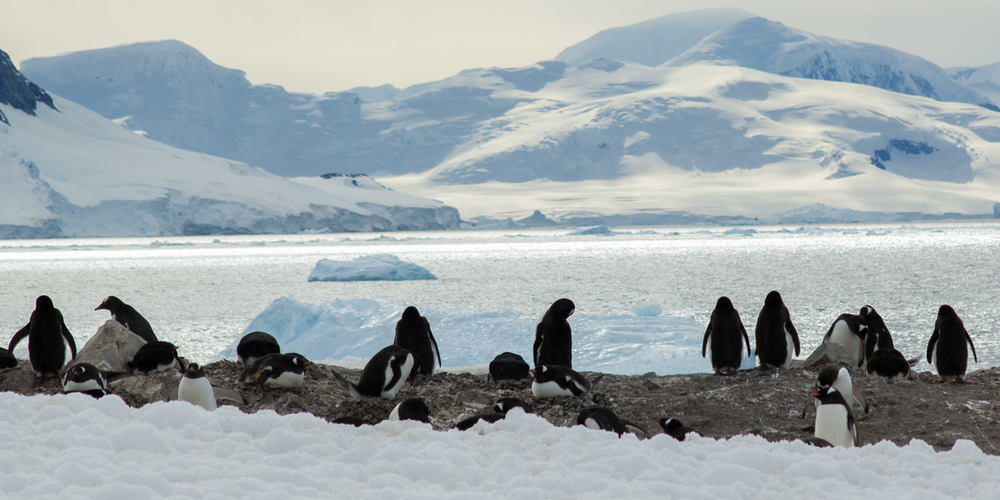 gentoo-penguin-colony-and-mountains-12x6.jpg