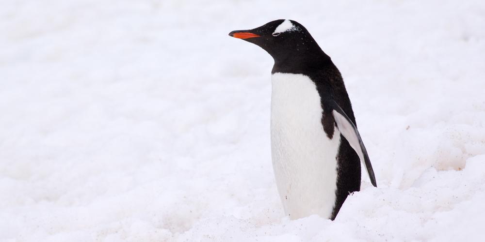penguin-standing-12x6.jpg