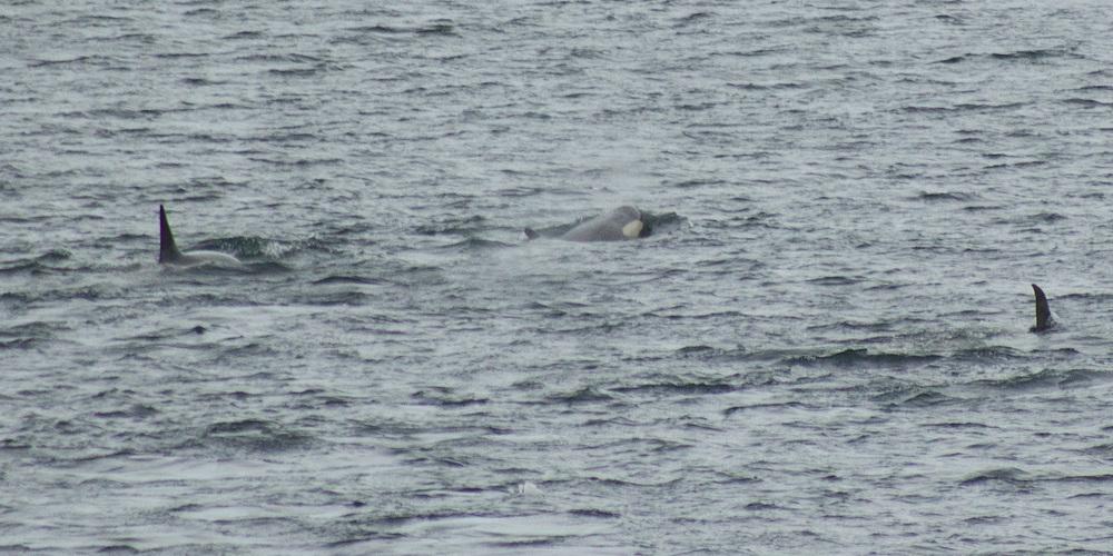 orcas-12x6.jpg