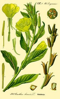 Evening primrose  oil is an extremely rich source of an omega 6 fatty acid called Gamma Linolenic Acid (GLA). Moisturizes skin, evens skin tone and reduces hyperpigmentation/discoloration.