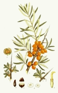 Sea Buckthorn has a high level of superoxide dismutase, an enzyme that fights free radical damage. Combats  glycation  - A skin symptom from an overload of glucose in the body. When we eat too much sugar, glucose proteins can attach to healthy collagen and elastin, causing early signs of aging. Sea Buckthorn breaks apart the bindings of these proteins and heals the cellular structure of our much-needed collagen and elastin. Very effective anti-inflammatory abilities. Softens and hydrates because of high Vitamin E content, deeply penetrating the skins layers, holding hydration and softening the tissue. Smooths and strengthens the skin and reduces scarring, swelling, and inflammation, allowing the skin to break the inflammatory cycle and heal itself. A mild analgesic, which discourages scratching and picking spreading bacteria and irritating the skin. It is also anti-microbial.